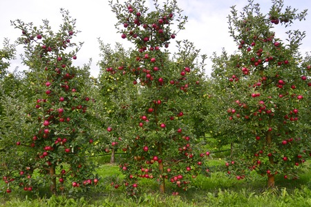 Picture of an Apple Orchard. apple harvesting