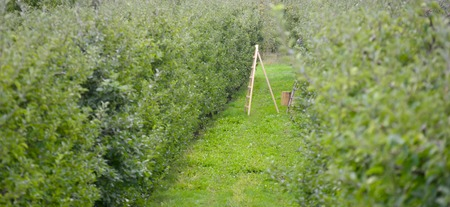 apple orchard: Picture of an Apple Orchard. apple harvesting
