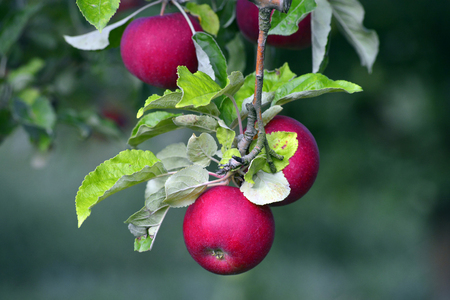 picture of ripe apples ready for harvesting , food and health