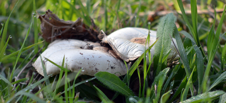 front  or back  yard: Picture of a Mushroom Growing in Grass. Morning light Stock Photo