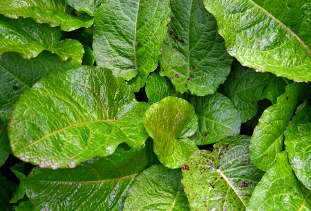 morning dew: Picture of a Green leaves and  morning dew