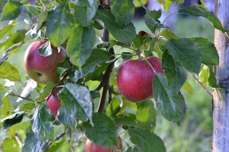 pomme rouge: picture of a Red apples in an orchard early on the morning