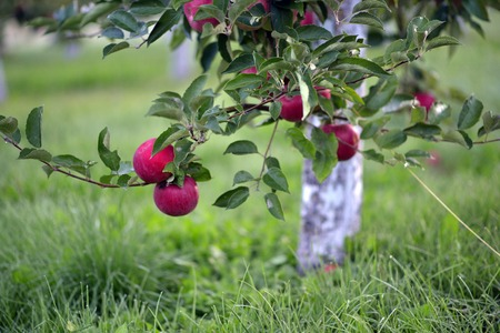 albero da frutto: picture of a Red apples in an orchard early on the morning