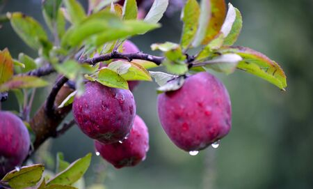 albero da frutto: Picture of an Apple fruits in october ready for harvesting in orchard