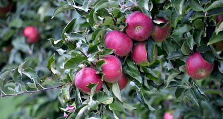 feuille arbre: Photo d'un des fruits d'Apple en octobre pr�tes pour la r�colte dans le verger