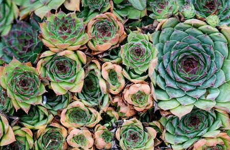 green  pattern: Picture of a Common houseleek Sempervivum flower, Flower concept