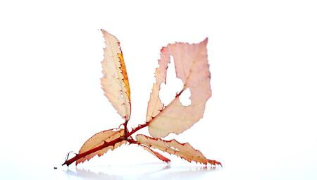 trees with thorns: picture of an autumn leaves on white background