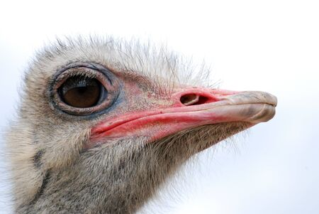 ugliness: Picture of an Ostrich bird