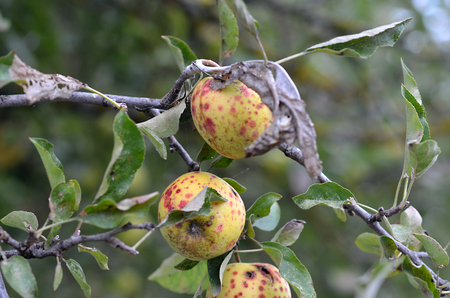 diseased: Picture of a Diseased apples on a tree Stock Photo