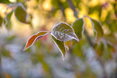 autumn color: picture of a First frost on a plants  in november morning