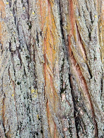 walnut tree: Picture of a texture of Walnut Tree Trunk