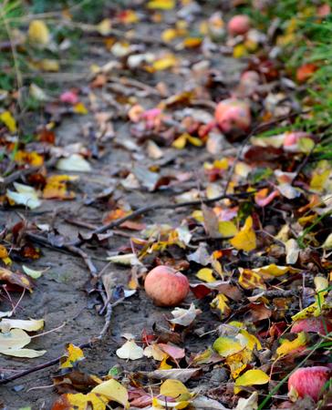 climas: picvture de manzanas ca�das en el huerto