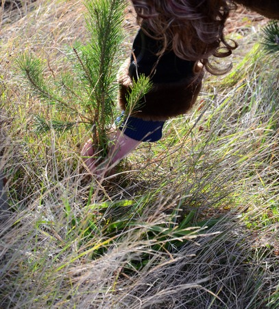 fir tree: Picture of a Planting new tree Stock Photo