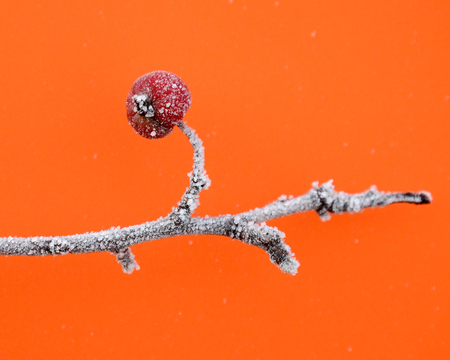 bourgeon: Picture of a First frost on an apples in orchard