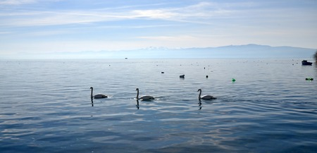 birds lake: Picture of a Swan birds in lake Ohrid, Macedonia