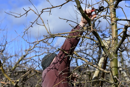 bare wire: Farmer pruning apple tree  in orchard in  Resen, Prespa, Macedonia. Prespa is well known region in Macedonia  on producing high quality apples