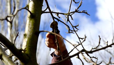Apple tree: Immagine di un albero di Farmer potatura di mele in frutteto