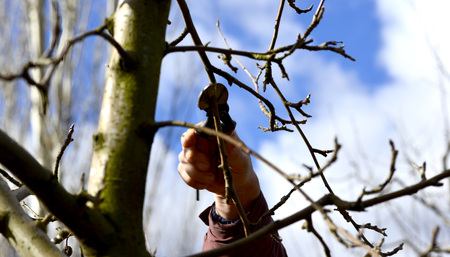 tree fruit: Picture of a Farmer pruning apple tree in orchard