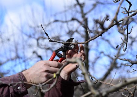albero di mele: Immagine di un albero di Farmer potatura di mele in frutteto