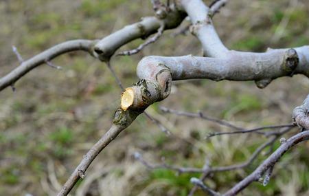 arbol de manzanas: Dibujo de un �rbol de manzana podado. concepto de la agricultura