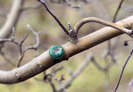albero da frutto: Immagine di un albero di mele potato. concetto di agricoltura