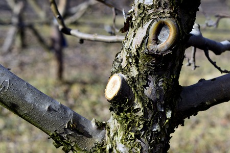 bare wire: Picture of a Pruned apple tree. Agriculture concept