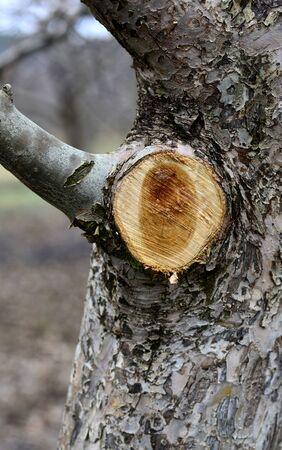 hojas de arbol: Imagen de una ramita de manzana podado. concepto de la agricultura