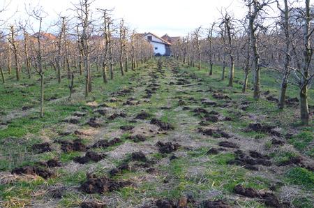bullshit: Organic fertilization of an apple orchard in Macedonia Stock Photo
