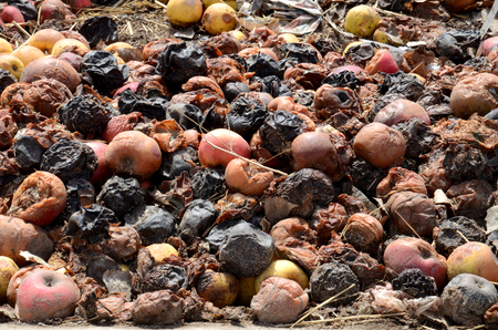 uneatable: Organic pollution concept. Picture of a Rotten apples