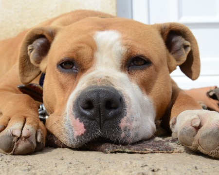 american staffordshire terrier: picture of an american staffordshire terrier, lazy