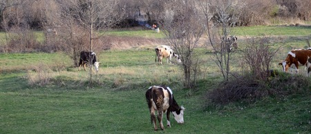 beast ranch: Picture of a cows at pasture near bitola,macedonia