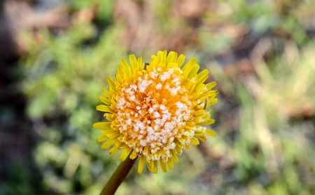 dandelion snow: Picture of a morning frost on a dandelion flower