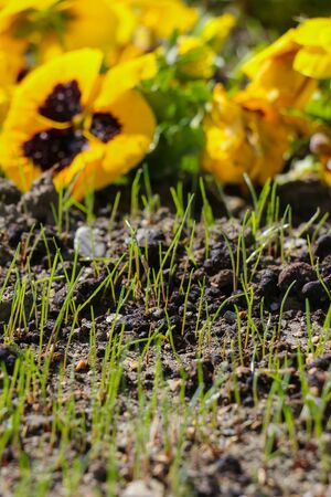 planted: picture of a fresh planted spring flowers Stock Photo