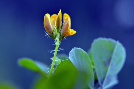 wildwood: picture of a wild plant blossom