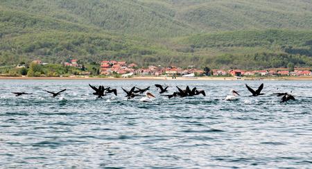 ornitology: Picture of a Dalmatian Pelican  ,Pelecanus crispus, on the  lake Prespa, Macedonia Stock Photo