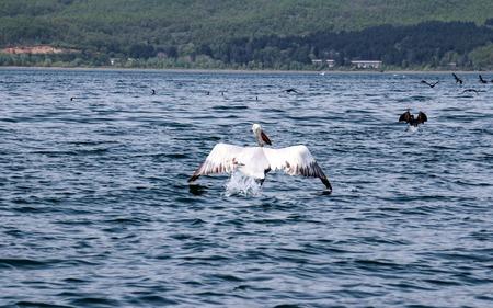 Picture of a Dalmatian Pelican  ,Pelecanus crispus, on the  lake Prespa, Macedonia Stock Photo