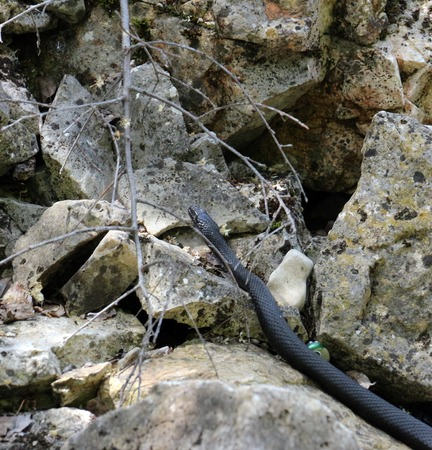 Picture of a Black snake on the Island Golem grad in Lake Prespa, Macedonia Stock Photo