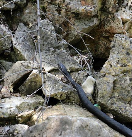 reptillian: Picture of a Black snake on the Island Golem grad in Lake Prespa, Macedonia Stock Photo