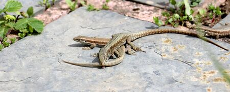 battleground: picture of lizard eat tail to another.survival concept