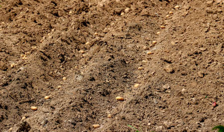 planted: poicture of fresh planted potatoes on a soil Stock Photo