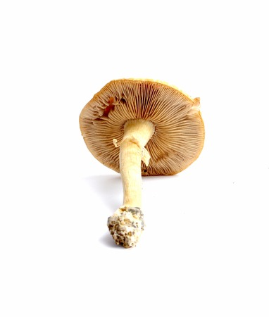 fungoid: picture of a fresh harvested mushroom