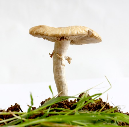 fungoid: picture of a mushroom on a soil,studio shot