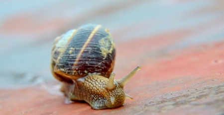 slithery: Picture of a  garden snail , edible snail, escargot Stock Photo