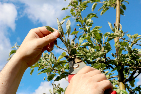 powdery: mechanical removal of apple leaves  infected and damaged by fungus disease powdery mildew Stock Photo