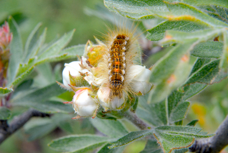 underwing: picture of a caterpillar macro closeup on a blossom