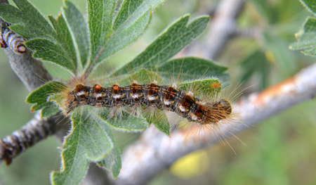 underwing: picture of a caterpillar macro closeup on green leaf