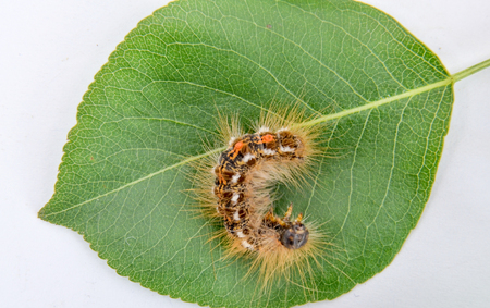 underwing: picture of a caterpillar macro closeup on green pear leaf