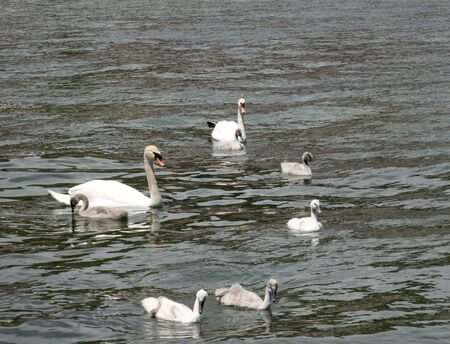 twee: picture of a Curte swan family swimming