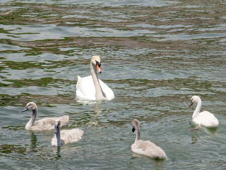 prettiness: picture of a Curte swan family swimming