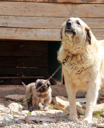 Picture of a Sarplaninec - Shara Mountain Dog, Macedonian shepherd female dog with puppy Stock Photo
